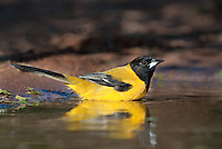561850015 a wild brilliant yellow audubon's oriole icterus graduacauda bathes in a small pond on beto gutierrez santa clara ranch hidalgo county lower rio grande valley texas united states