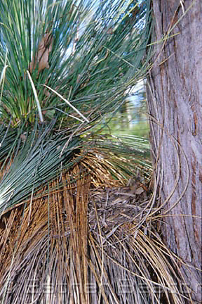 Nest of a bird (no longer in use) built into fronds of Grass Tree next to a stringybark in woodland, Chiltern-Mt Pilot National Park, VIC