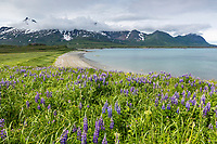 Field of lupine wildflowers and coastal shores of Sukoi bay, Cape Douglas, Katmai National Park, Alaska Peninsula, southwest Alaska. Aleutian mountain range in the distance.