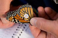 Tagging Monarch Butterfly; Danaus plexippus; NJ, Cape May