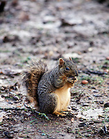 RODENTS<br /> Fox Squirrel Eating An Acorn<br /> Sciurus niger