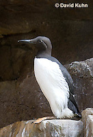 0727-1011  Common Murre (Common Guillemot), North American Seabird, Uria aalge  © David Kuhn/Dwight Kuhn Photography