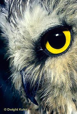 OW02-170z   Saw-whet owl - close-up of face showing curved beak and eye - Aegolius acadicus