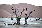 Deadvlei with its dead camel thorn trees (Acacia erioloba) has become an icon for Namibia. The trees died when the Tsauchab river was blocked by a dune.