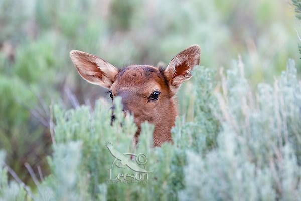 Young Rocky Mountain Elk Calf (Cervus canadensis nelsoni) peeking over sage.  Northern Rockies, June.