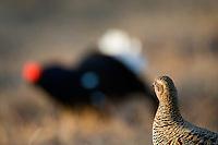 18.04.2009.Black Grouse (Tetrao tetrix) displaying on a bog. Lekking behaviour. Courting. Male and female..Bergslagen, Sweden.