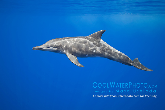 rough-toothed dolphin, Steno bredanensis, Kona Coast, Big Island, Hawaii, USA, Pacific Ocean