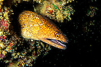 The Stout Moray Eel (Gymnothorax eurostus) hides in the cracks and crevices of Hawaii's coral reefs. Hawaiian name is Puhi.