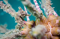 spotted seahorse, Hippocampus kuda, juvenile, being camouflaged among sea urchin spines, Cambodia