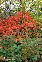 SO01-074x  Staghorn Sumac - leaves autumn colors  - Rhus typhina