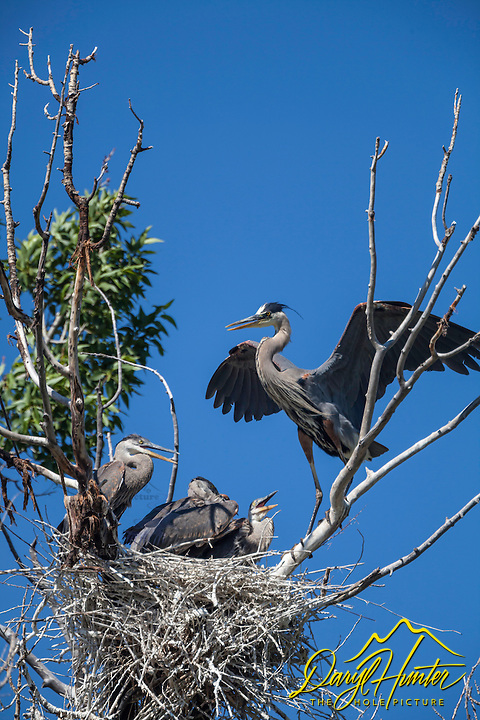 Blue Heron nest, Swan Valley Idaho