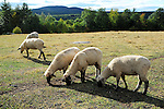 Flock of sheep with a view of Mt. Skatutakee in New Hampshire USA