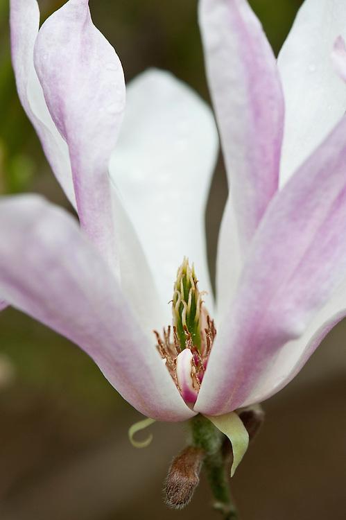 Magnolia x loebneri 'Leonard Messel', mid April.