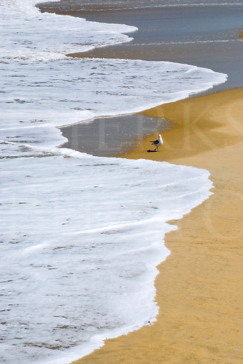 A single seagull being chased by incoming white ocean surf, the Outer Banks at Nags Head, North Carolina, USA.
