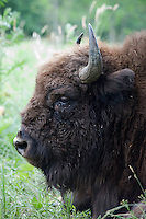 Captive bison (Bison bison) to be reintroduced in the forest of durea Domnesca National Park, Moldova