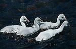 Four cygnets swimming in Yellowstone National Park