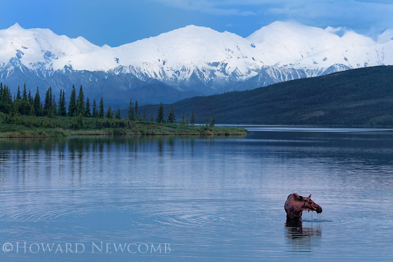 A lone moose feeds at twilight in Wonder Lake beneath Mt McKinley and the Alaska Range.  Wonder Lake is in Denali National Park, Alaska.