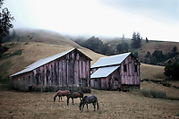 Barns and horses near Philo in Northern California's Anderson Valley.  100 mg tango scan from 35 mm film.. © John Birchard