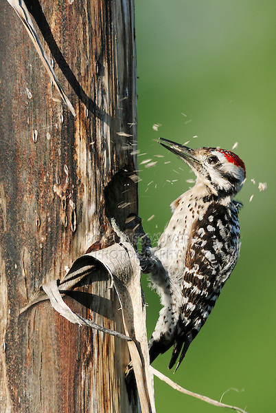 Ladder-backed Woodpecker (Picoides scalaris), male building nesting cavity in Agave, Century Plant (Agavaceae), Laredo, Webb County, South Texas, USA