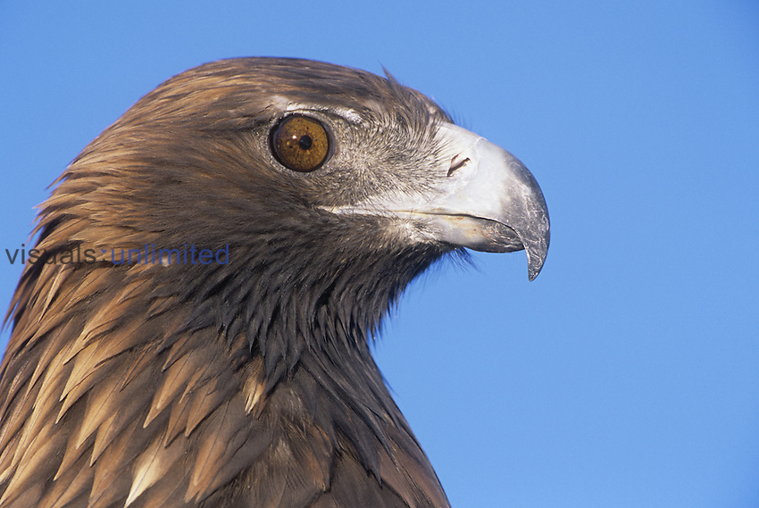 Golden Eagle head showing its eye and bill (Aquila chrysaetos), North America.