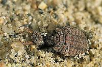 1L50-008a   Antlion larva - Myrmeleon crudelis