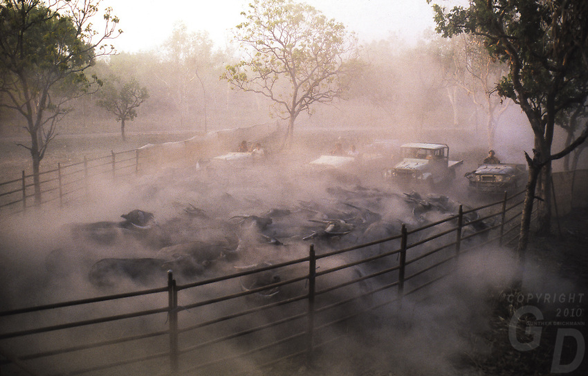 Buffalo Muster in the Outback of Australia, Northern Territory, NT