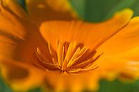 California Poppy (Eschscholzia californica). California.  Spring.