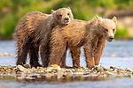 USA, Alaska, Katmai National Park, brown bears (Ursus arctos)