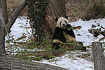 "Baby panda Tai Shen eats bamboo at the National Zoo in Washington, D.C. on February 2, 2010. Tai Shen was an enormously popular attraction during her time in the U.S. at the National Zoo but is set to return to her native China by a FedEx plane nicknamed, ""Panda One,"" on Thursday morning, February 4, 2010."