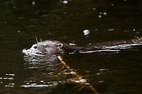 Chilean river otter, southern river otter, huillin, Lontra provocax, Chiloe Island, Chile, swimming