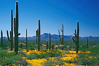 Mexican goldpoppy and saguaros<br />