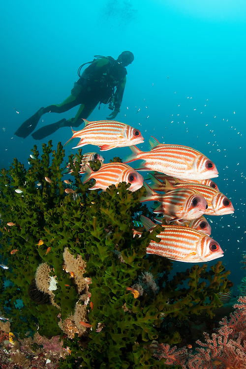 Small school of redcoat squirrelfish: Sargocentron rubrum, amongst coral as diver approaches, Dampier Strait, Raja Ampat, Indonesia