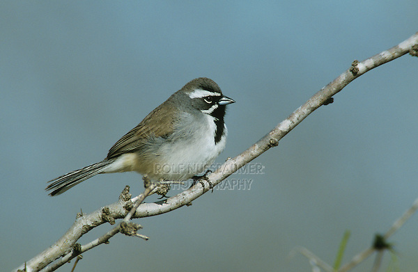 Black-throated Sparrow, Amphispiza bilineata, adult, Starr County, Rio Grande Valley, Texas, USA, April 2002