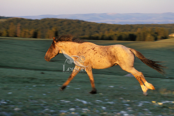 Wild Horse stallion running across mountain meadow.  Western U.S., summer..(Equus caballus)