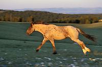 Wild Horse stallion running across mountain meadow.  Western U.S., summer..(Equus caballus)