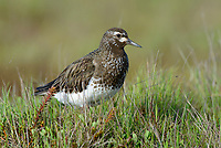 Black Turnstone (Arenaria melanocephala). Yukon Delta National Wildlife Refuge, Alaska. July.
