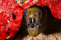 An underwater image of a green undulated moray surrounded by red sponge along the Waianae coast of O'ahu.