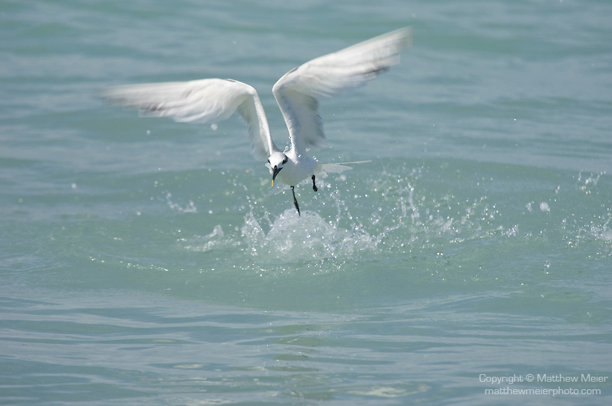 Captiva Island, Florida; a Sandwich tern (Sterna sandvicensis) bird, emerges from the water after unsuccessfully diving for bait fish © Matthew Meier Photography, matthewmeierphoto.com All Rights Reserved