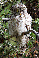 The call of the adult Great Gray owl  (Strix nebulosa) is a series of very deep, rhythmic whoos, which is usually given in correlation to their territories or in interactions with their offspring. At other times, adults are normally silent. The young may chitter, shriek or hiss. Canyon area, Yellowstone.