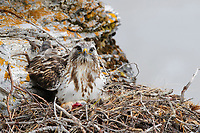 Adult female Rough-legged Hawk (Buteo lagopus) on its cliff face nest. Seward Peninsula, Alaska. June.