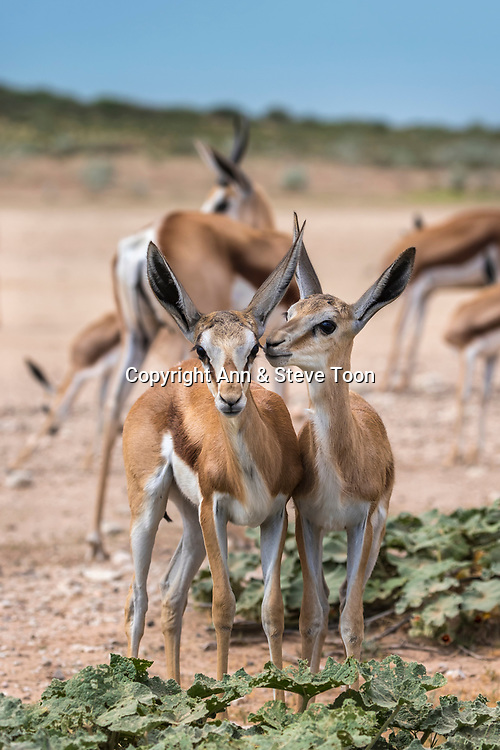 Springbok (Antidorcas marsupialis) young, Kgalagadi transfrontier park, Northern Cape, South Africa, January 2017