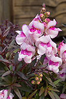 Antirrhinum Bronze Dragon with dark purple foliage leaves and pink and purple flowers