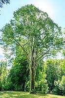 France, Indre-et-Loire (37), Azay-le-Rideau, parc et château d'Azay-le-Rideau au printemps, tilleul argenté ( Tilia tomentosa)