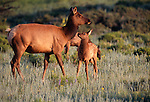 American elk, Cervus elaphus canadensis, cow, calf, meadow, Rocky Mountains, Colorado