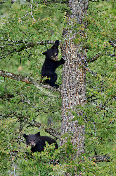 "Wild Black Bear (Ursus americanus) cubs playing safely in tree while mom forages on the ground.  Western U.S., spring. (This is what is known as ""coys""--cubs of the year.)"