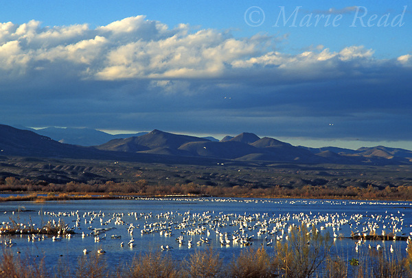 Bosque Del Apache National Wildlife Refuge, Snow Geese (Chen caerulescens) in pool with dramatic evening sky, New Mexico, USA<br /> Slide # SNM-27