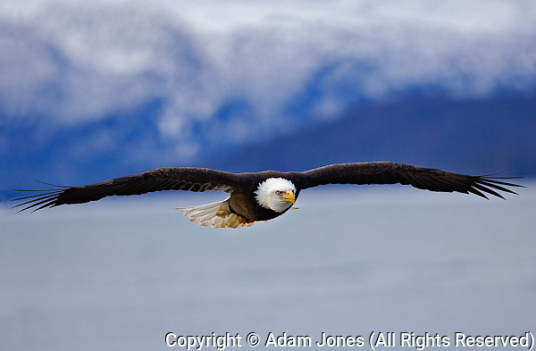 Bald Eagle in Fligt, Homer, Alaska, Haliaetus leucocephalus;
