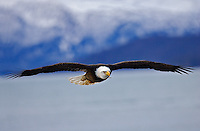 Bald Eagle in Fligt, Homer, Alaska, Haliaetus leucocephalus;