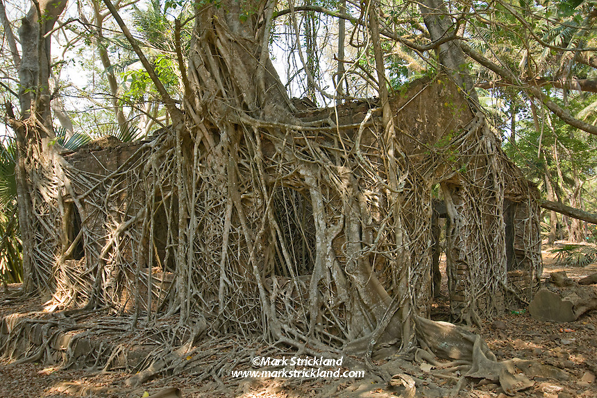 One of many buildings now overgrown by jungle, at the once-luxurious Ross Island settlement. Home to British officials and their families, the settlement was known as the Paris Of The East, until being abandoned in 1945. Ross Island, Andaman Islands, IndiaPort Blair, Andaman Islands, India