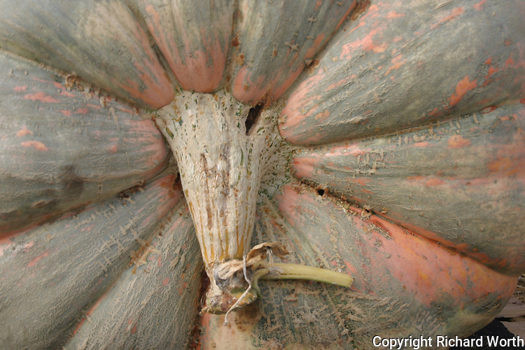 A pumpkin, even a giant pumpkin, is a gourd.  A gourd has a stem, and a stem, up close and with imagination, could be. . .   A Giant Anteater????